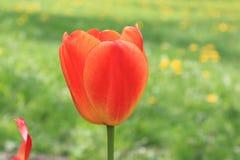 Tulipa brilhante da mola vermelha em um fundo de dentes-de-leão amarelos e da grama verde imagens de stock royalty free