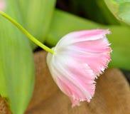 Tulipa Buitensporige Franjes Omzoomde Tulp Royalty-vrije Stock Foto's