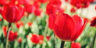 Tulipa caída Foto envelhecida Flor cor-de-rosa no asfalto closeup Imagem de Stock