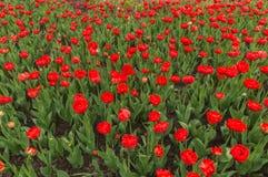 A tulipa colorida abundante floresce na primavera no backgr da chuva fotografia de stock