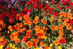 A tulipa colorida floresce a flor no jardim Fotos de Stock