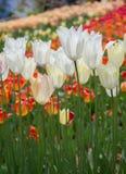 A tulipa colorida floresce a flor no jardim Fotografia de Stock