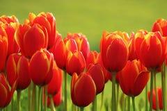 Tulipa colorida mim Fotografia de Stock