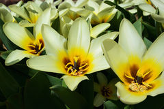 Tulipa Concerto stock photography