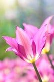 Tulipa cor-de-rosa Fotos de Stock