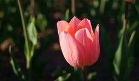 Tulipa cor-de-rosa Imagem de Stock Royalty Free