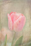 Tulipa cor-de-rosa afligida foto de stock