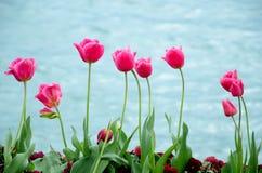 Tulipa cor-de-rosa com fundo do lago Fotos de Stock