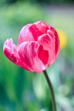 Tulipa cor-de-rosa de creme Fotografia de Stock Royalty Free