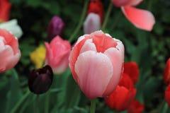 Tulipa cor-de-rosa delicada com gotas de água após a chuva no fundo de outras tulipas bonitas foto de stock