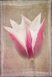 Tulipa cor-de-rosa e branca afligida foto de stock