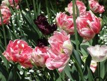 A tulipa cor-de-rosa e roxa bonita brilhante floresce na mola, Canadá, em maio de 2018 fotografia de stock