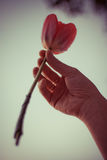 Tulipa cor-de-rosa na mão direita da mulher Moça com joia dourada nos dedos que guardam uma flor Foto de Stock Royalty Free