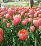 Tulipa cor-de-rosa na terra da flor imagens de stock royalty free