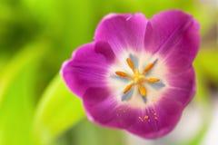 Tulipa cor-de-rosa no fundo borrado verde Macro Sumário Close-up horizontal Trocista acima com espaço da cópia para o cartão imagens de stock royalty free