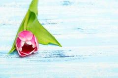Tulipa cor-de-rosa no fundo de madeira azul, espaço da cópia Fotografia de Stock Royalty Free