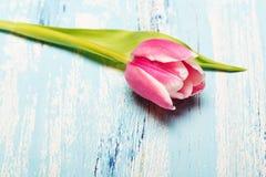 Tulipa cor-de-rosa no fundo de madeira azul, espaço da cópia Fotos de Stock