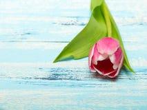 Tulipa cor-de-rosa no fundo de madeira azul, espaço da cópia Imagem de Stock Royalty Free