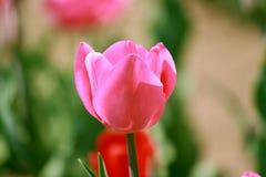 Tulipa cor-de-rosa no jardim imagem de stock royalty free