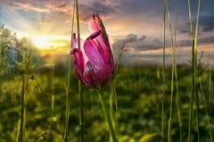 Tulipa cor-de-rosa no por do sol como um símbolo da liberdade e da felicidade Imagem de Stock