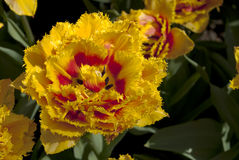 Tulipa da fantasia Imagens de Stock Royalty Free