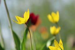 Tulipa da floresta imagens de stock