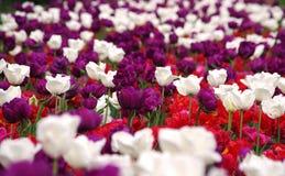 A tulipa da mola floresce o fundo Foto de Stock Royalty Free