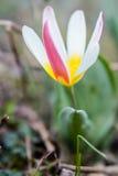 Tulipa de anão amarelo e vermelho Imagens de Stock Royalty Free