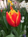 Tulipa de Fabio no jardim Fotos de Stock Royalty Free