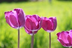 Tulipa de florescência bonita Fotos de Stock Royalty Free