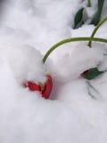 Tulipa de florescência que dobra-se sob o peso da neve e do gelo Imagens de Stock Royalty Free