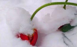 Tulipa de florescência que dobra-se sob o peso da neve e do gelo Foto de Stock Royalty Free