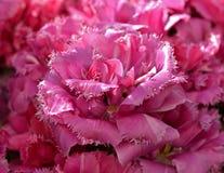 Tulipa de Kingston, variedade cor-de-rosa magnífica da tulipa foto de stock royalty free