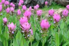 Tulipa de Sião Imagem de Stock Royalty Free