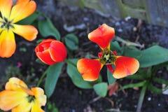 A tulipa decora o jardim de atribuição do ` s da tia foto de stock