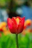Tulipa do vermelho da mola Fotografia de Stock Royalty Free