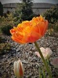 Tulipa dobro laranja-amarelo Fotos de Stock Royalty Free