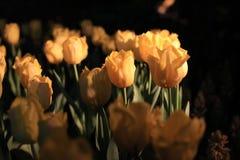 A tulipa dourada Imagem de Stock