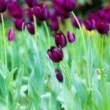 Tulipa`-drottning av natt`en, Svart tulpanblomma, selektiv fokus Arkivbild
