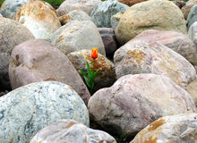 A tulipa e as pedras grandes fotografia de stock royalty free