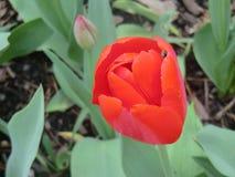 Tulipa e botão vermelhos Imagens de Stock Royalty Free