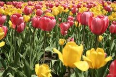 Tulipa em Gatineau Canadá, America do Norte Imagem de Stock Royalty Free