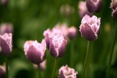 Tulipa em Moscou no verão Fotografia de Stock Royalty Free