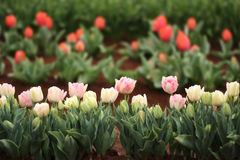 Tulipa em uma exposição Foto de Stock