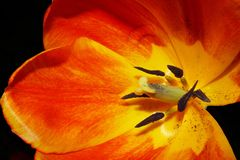 Tulipa, estame da exibição do close up, pistola, e pólen alaranjados e amarelos imagens de stock royalty free