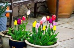 A tulipa floresce perto da parede de pedra Imagens de Stock Royalty Free