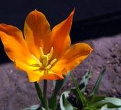A tulipa florescida lírio chamou Bailarina Fotos de Stock Royalty Free