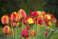 Tulipa, Flower tulips background. Beautiful view of color tulips Stock Photos
