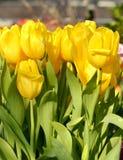Tulipa forte do ouro imagens de stock royalty free