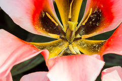 Tulipa-Frühlings-Überraschung Stockbilder